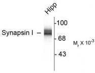 AP08739PU-N - Synapsin-1
