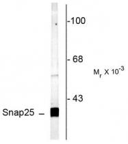 AP08737PU-N - SNAP25