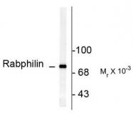 AP08733PU-N - Rabphilin-3A / RPH3A