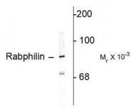 AP08732PU-N - Rabphilin-3A / RPH3A