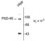 AP08730PU-N - DLG4 / PSD95