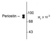 AP08724AF-N - Periostin