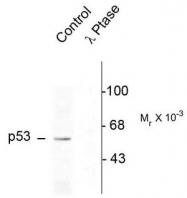 AP08718PU-N - TP53 / p53