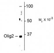 AP08716PU-N - OLIG2