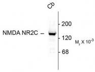 AP08712PU-N - NMDA Receptor 2C