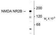 AP08707PU-N - NMDAR2B