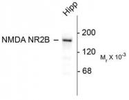 AP08705PU-N - NMDAR2B