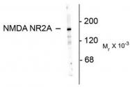 AP08704PU-N - NMDA Receptor 2A