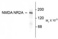 AP08703SU-N - NMDA Receptor 2A