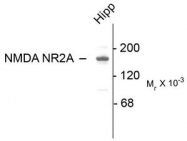 AP08702PU-N - NMDA Receptor 2A