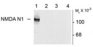 AP08701PU-N - NMDA Receptor 1