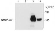 AP08700PU-N - NMDA Receptor 1