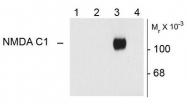 AP08698PU-N - NMDA Receptor 1