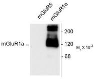 AP08691PU-N - mGluR1a / GRM1a