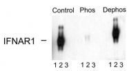 AP08683PU-N - IFNAR1