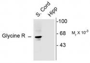 AP08680PU-N - Glycine receptor alpha-1