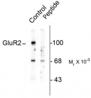 AP08679PU-N - Glutamate receptor 2 / GLUR2