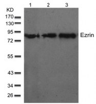 AP02712PU-S - Ezrin