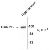AP08678PU-N - Glutamate receptor 2 / GLUR2