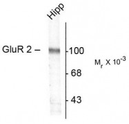 AP08677PU-N - Glutamate receptor 2 / GLUR2
