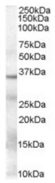 AP16445PU-N - GAPDH