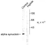 AP08611PU-N - Alpha-Synuclein / SNCA