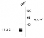 AP08607PU-N - 14-3-3 protein beta/alpha