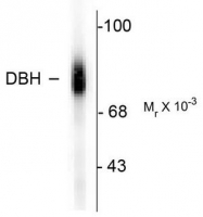 AP08634PU-N - Dopamine beta-hydroxylase