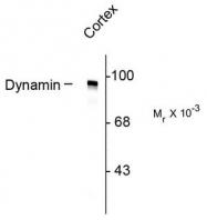 AP08638PU-N - Dynamin-1