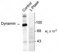 AP08639PU-N - Dynamin-1