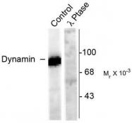 AP08640PU-N - Dynamin-1