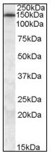 AP08593PU-N - ABCC5 / MRP5