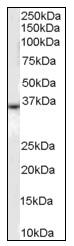 AP08783PU-N - CD234 / DARC