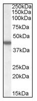 AP08800PU-N - Casein kinase I epsilon
