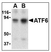 AP08807PU-N - ATF6 alpha