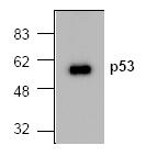 AM00166PU-N - TP53 / p53