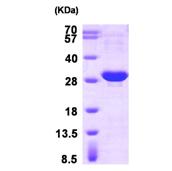 AR09327PU-L - HSPB1 / HSP27