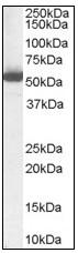 AP08840PU-N - ALDH1