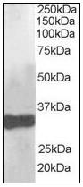 AP08864PU-N - Claudin-14 (CLDN14)