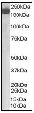 AP08882PU-N - Complement factor H (CFH)