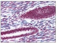AM08282PU-N - Estrogen receptor alpha