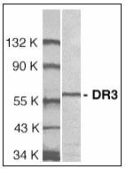 AP08930PU-N - TNFRSF25 / DR3 / TRAMP