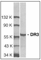 AP08931PU-N - TNFRSF25 / DR3 / TRAMP