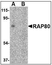 AP08932PU-N - UIMC1 / RAP80