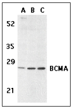 AP08949PU-N - CD269 / BCMA