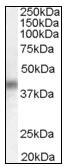 AP08951PU-N - DUSP1 / MKP1
