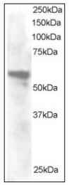 AP08953PU-N - Annexin A11 / ANXA11