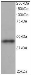 AP08968PU-N - Centractin beta