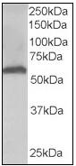 AP08969PU-N - 58K Golgi Protein