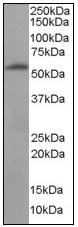 AP08970PU-N - 58K Golgi Protein